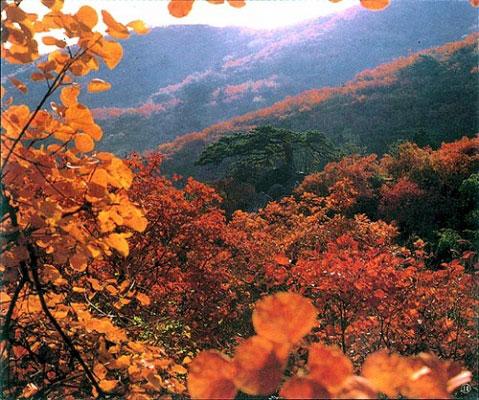 Maple Tree on Fragrant Hills Park