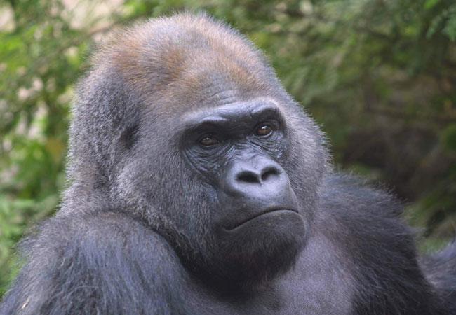 Gorilla in the Beijing Zoo