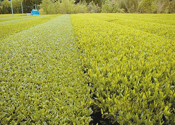 Bai Hao Yinzhen Tea Farm