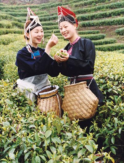 Huiming Tea Farm