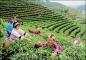Garden of Huiming Tea