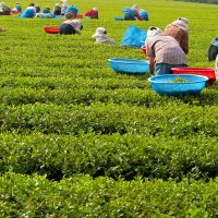 Lushan Yunwu Tea