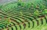 Pu Erh Tea Farm