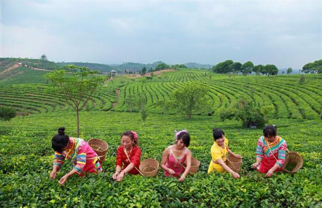 Pu Erh Tea Garden