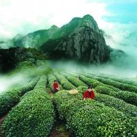 Wuyi Rock Tea
