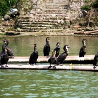 Cormorant Fishing Fun, Guilin Tours