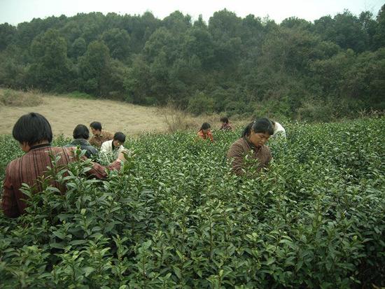 Hangzhou Longjing Tea Plantation, Hangzhou Travel Photos