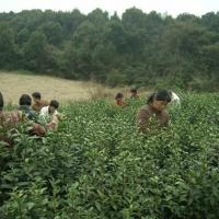 Hangzhou Longjing Tea Plantation, Hangzhou Tours