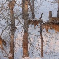 Siberian Tiger Park,China Tigers