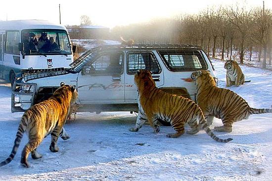 Siberian Tiger Park,Harbin Winter Travel