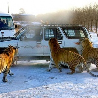Siberian Tiger Park,Harbin Winter Travel