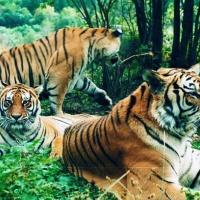 Siberian Tiger Park, Harbin Winter Tours