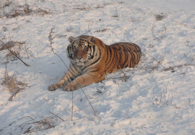 Siberian Tiger Park,Harbin Zoos