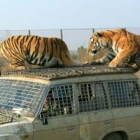Siberian Tiger Park, Harbin Travel Photos
