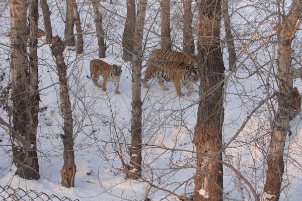 Siberian Tiger Park,Harbin Holiday