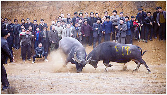 Watch water buffalo fighting contest.