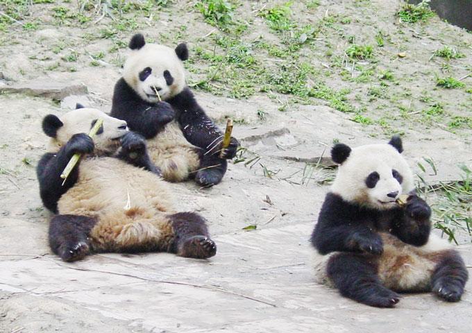female panda
