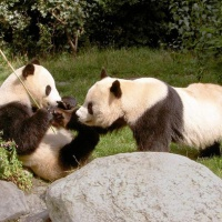 Chengdu Giant Panda Base, Sichuan Tours
