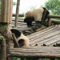 Chengdu Giant Panda Base