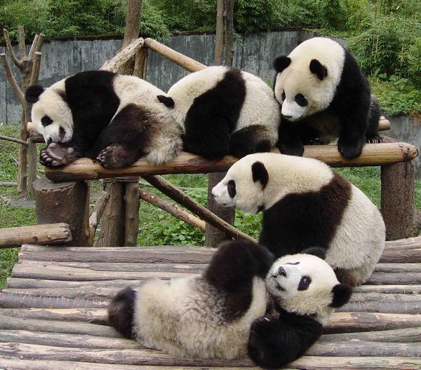 Panda Photos, Panda Pictures, China Panda Bear Pics, Panda Photo Facts