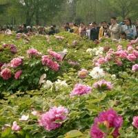Peony Festival, Luoyang China